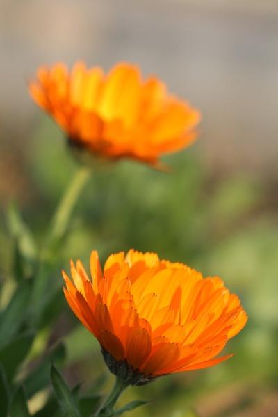 flower by Dureja