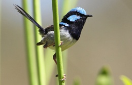 Superb Fairywren (Malurus cyaneus),