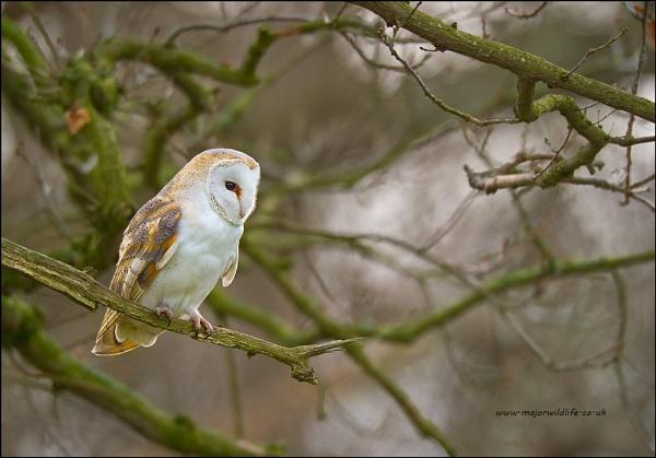 Barn Owl(Tyto alba) by majorwildlife