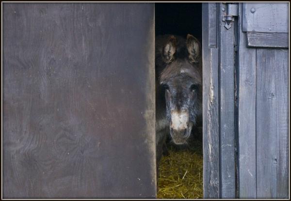 Donkey by DilysT