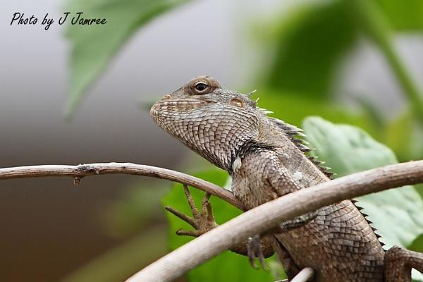 Iguana by JJamree