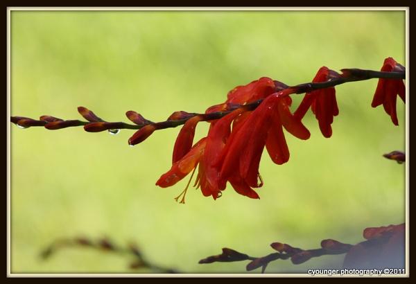 Raindrops Flower by desbarnio