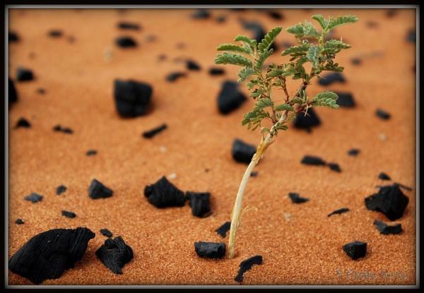 Baby Camelthorn between pile of coal on Kalahari dune by Elsabe