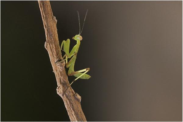 Juvenile Mantis by Glynn