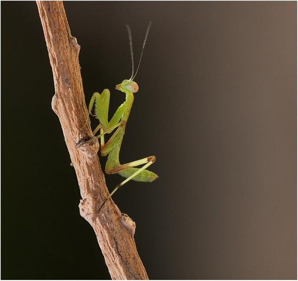 Juvenile Mantis II by Glynn