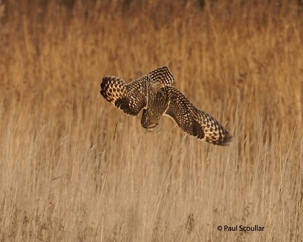 Short Earred Owl In dive. by skewey