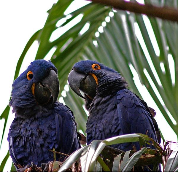 Hyacinth Macaws Brazil by Hazelmouse
