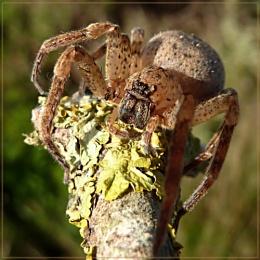 grumpy arachnid!