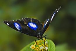 eggspot butterfly