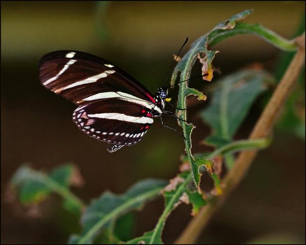 zebra longwing by halo666