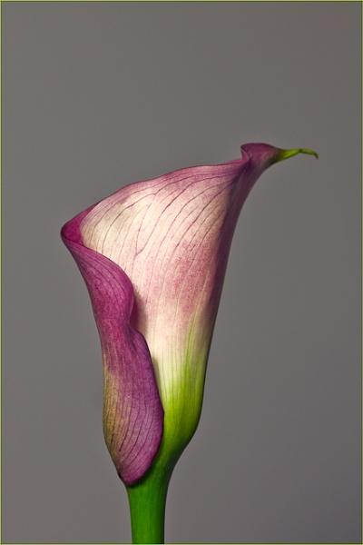 lily by dwarf
