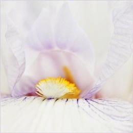 Bearded iris 'English Cottage'