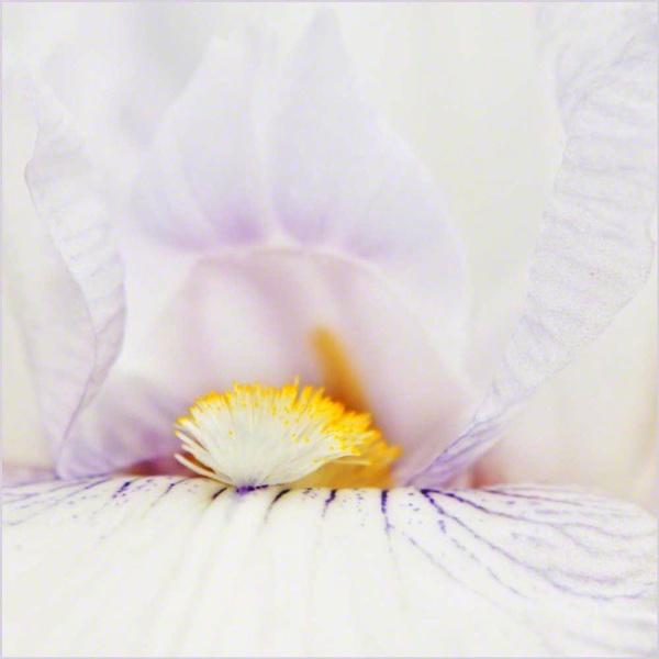 Bearded iris \'English Cottage\' by posty57