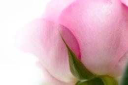 Pink rose (what else :)) )