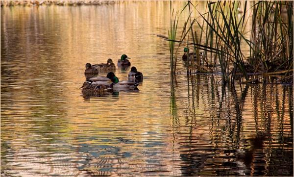 Duck Pond by Daisymaye