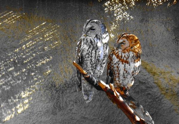 Tawny Owls by Wheelers0161