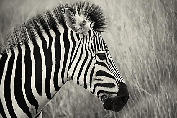 Zebra by Bokkie