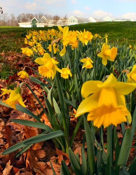 Early Daffodils by MGathercole