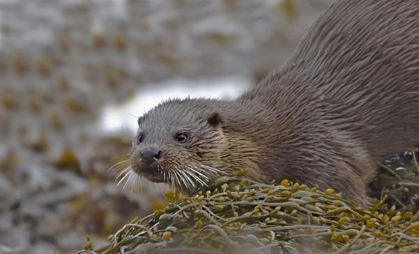 Eurasian Otter by rmccombe