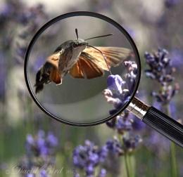 Humming Bird Hawk Moth
