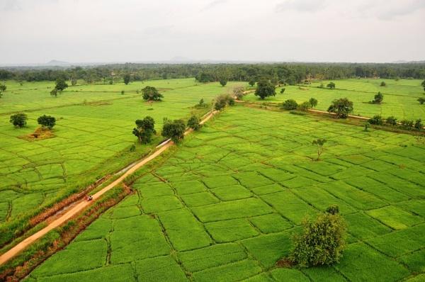 Paddy Field in Sri Lanka by malaysiaguy