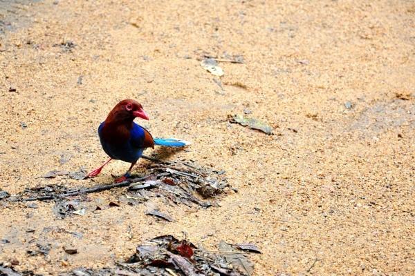 Ceylon Blue Magpie by malaysiaguy