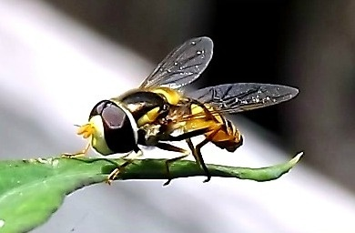 Hoverfly by butterflydiva72