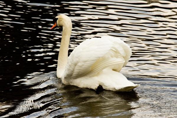 Swan at Sheffield Park by Jazzmk