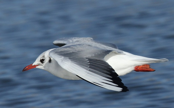 Black-headed Gull by MickWest