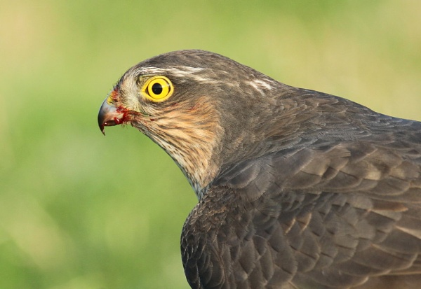 Sparrowhawk by MickWest