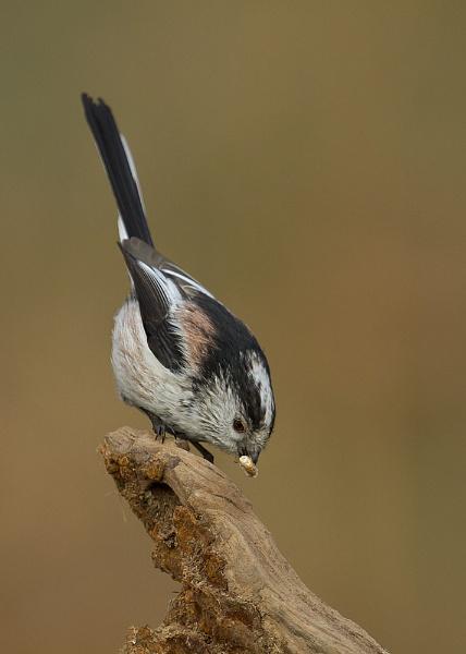 Long-tailed Tit by MossyOak