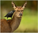 The Hind and the Jackdaw