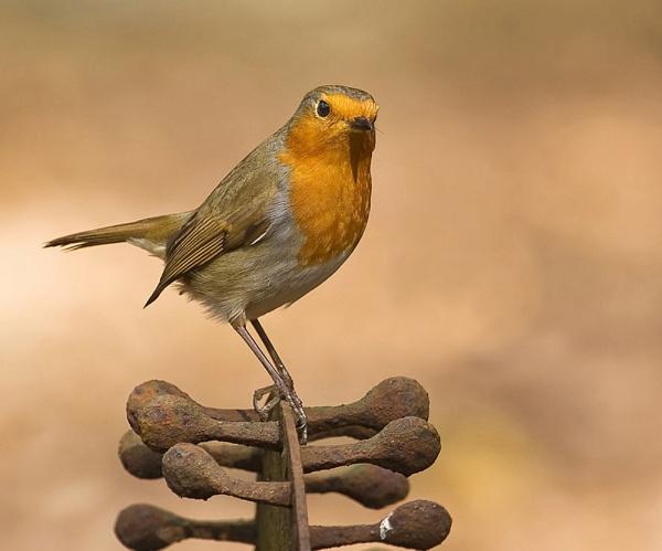 Rustic Robin by MossyOak