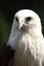 Bondol Eagle