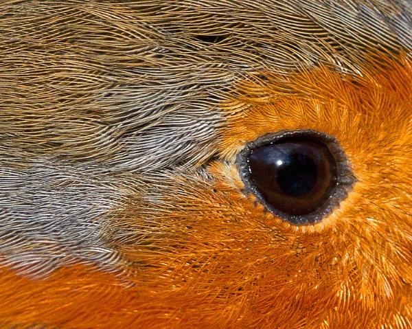 Robin by mattberry