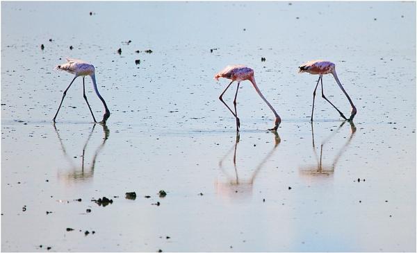 Feeding Flamingos by kinfatric