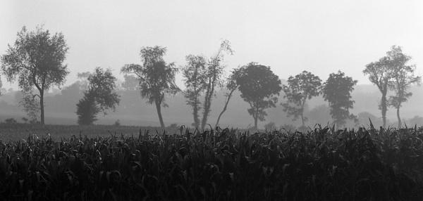 Cornfield: Early Morning by jmolligo
