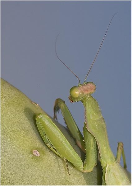 Mantis religiosa by Glynn