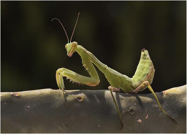 Mantis religiosa II by Glynn