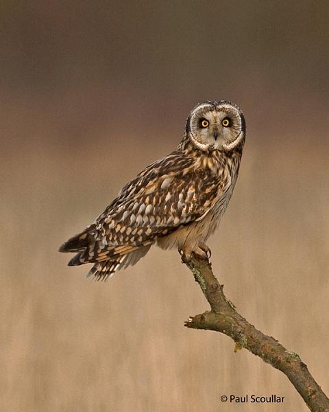 Short Earred Owl by skewey