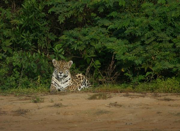 Brazilian Jaguar by Hazelmouse