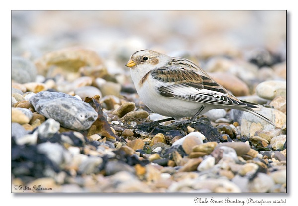 Male Snow Bunting (Plectrofenax nivalis) by teocali