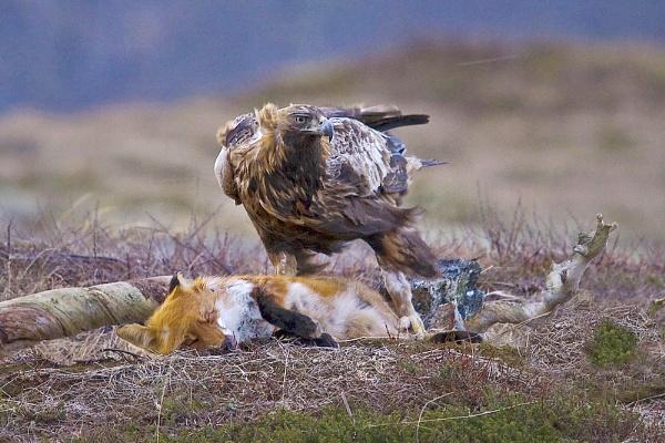 Golden eagle feeding on a fox by Daxiesmum