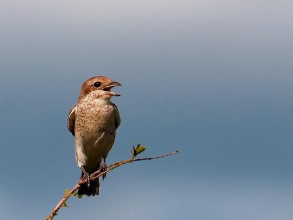 Red Backed Shrike by Kruger01