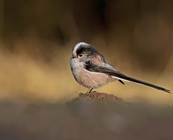 long tailed tit by Tom-Melton