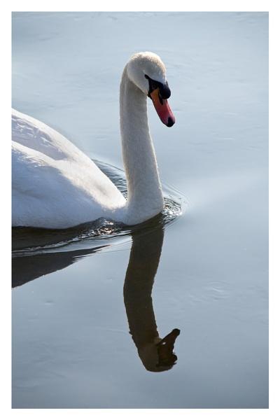 Swan Reflection by markt