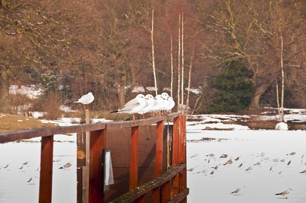 friendly sea gull by lvphotogallery