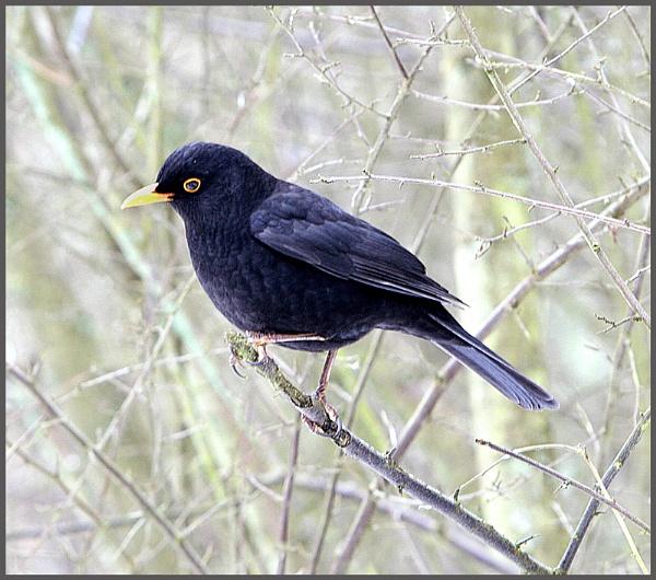 Cold Blackbird by f8