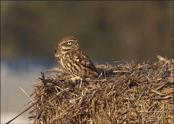 Little Owl(Athene noctua) by majorwildlife