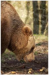 Gentle Giant???